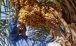برداشت 200 هزار تن خرما از سطح نخلستانهای سیستانوبلوچستان