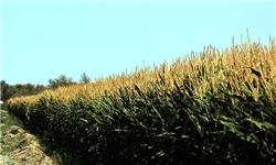 پیشبینی تولید 200 تن بذر ذرت در جنوب کرمان