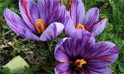 کاهش 50 درصدی برداشت زعفران در سبزوار