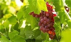 امسال 8200 تن انگور یاقوتی در نهاوند برداشت میشود