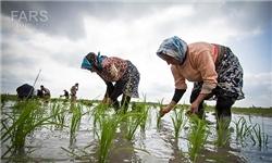 نشای برنج در 93 درصد از شالیزارهای مازندران