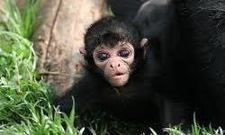 یک قلاده میمون در پارک گلستان زندهگیری شد