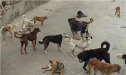 جمعیت سگها در منطقه دفن پسماند شازند در حال افزایش است
