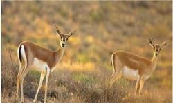شکار بیرویه گونههای جانوری زیستگاه زاگرس را تهدید میکند