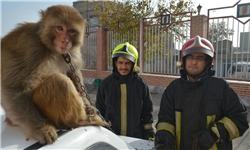 یک قلاده میمون مهمان ناخوانده مشهدیها / زندهگیری میمون توسط نجاتگران آتشنشانی