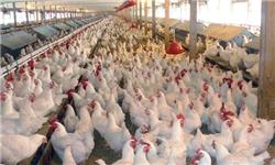۳۵  تا ۴۰ میلیون قطعه مرغ بر اثر آنفلوآنزای مرغی تلف شد