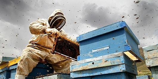 تولید سالانه ۷۰ تن عسل از ۱۱۶۷کندوی اصلاح نژاد شده/ کارنیکا زنبوری با خرطوم بلند و کیسه بزرگ