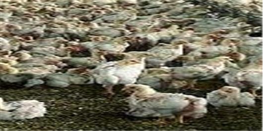 قیمت مرغ روند نزولی گرفت/ هشدار تولیدکنندگان مرغ به آقای وزیر