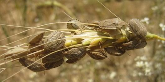 کنترل حشرات زیانآور، ۱۲ درصد عملکرد واقعی گندم را افزایش میدهد