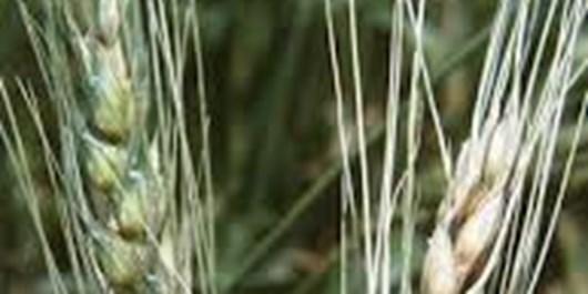 کشاورزان بیماری قارچی را جدی بگیرند/ سمپاشی مزارع به منظور مبارزه با بیماری فوزاریوم