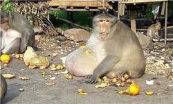 رژیم لاغری برای چاقترین میمون جهان+تصاویر