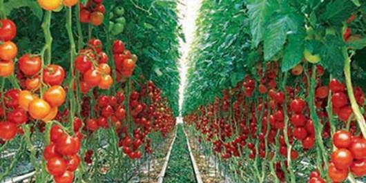 2 سایت بزرگ گلخانه در بدره و هلیلان در سال آینده به بهرهبرداری میرسد
