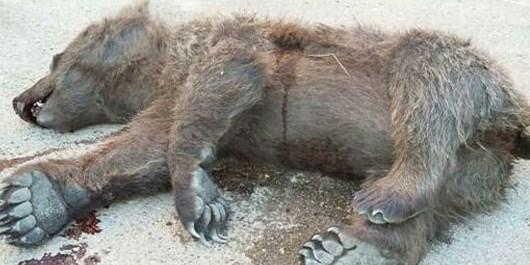 مرگ توله خرس در اثر برخورد با خودرو در بلده