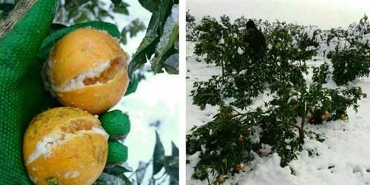 سرمازدگی، همه ساله خسارات زیادی را به باغات کشاورزی استان یزد تحمیل میکند