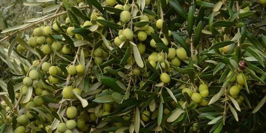 تاملی بر افزایش سطح کشت زیتون در استان گلستان از منظر آب