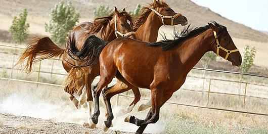 پرورش نژاد اسب ترکمن در نهاوند