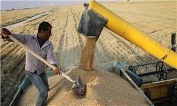 خرید تضمینی ۲.۷ میلیون تن گندم / مطالبات گندم کاران ۴۰ روزه تسویه میشود