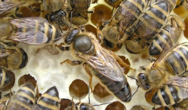 زنبور عسل کارنیکا