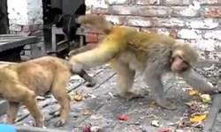 فیلم/ سر کار گذاشتن سگ توسط میمون بازیگوش