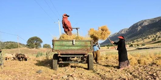 خرید 2 هزار و 500 تن گندم در استان زنجان/ پرداخت 50 درصد از مطالبات گندمکاران یک هفته پس از خرید