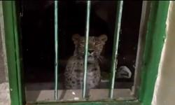 فیلم/ پلنگ؛ پشت پنجره پاسگاه محیطبانی