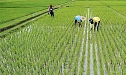 ممنوعیتی برای کشت برنج در مازندران وجود ندارد