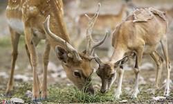تصاویری زیبا از حیات وحش منطقه حفاظت شده البرز مرکزی شمالی مازندران
