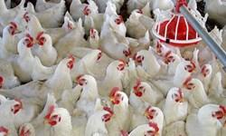 عدم ثبات بازار بزرگترین مشکل صنعت مرغ تخمگذار کشور است