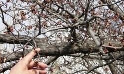 تکرار خسارات سرما به باغداران استان اردبیل/ خسارت 285میلیاردی به باغات مشگینشهر