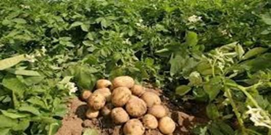 سیبزمینی شیرین یک گیاه تراریخته طبیعی است/عدم علامتگذاری محصولات تراریخته موجب فریب مصرفکننده میشود