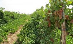 صندوق بیمه کشاورزی خسارات تاکستانهای شاهرود را برآورد میکند