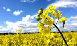 واردات ۸۶ درصدی دانههای روغنی/ قیمت خرید تضمینی افزایش یابد