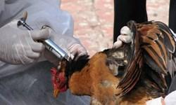 عدم مشاهده آنفلوآنزای حاد پرندگان در استان اردبیل/ غفلت کنیم با طغیان بیماری مواجه میشویم