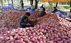 کارگران برای سیب سمیرم عازم دناکوه میشوند