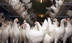 100 تن گوشت مرغ منجمد در گلستان توزیع شد/ توزیع 30 تن گوشت قرمز منجمد در گلستان