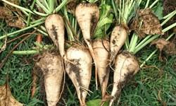 هشدارجهاد کشاورزی به  چغندرکاران آذربایجانغربی/ برای جلوگیری از سرمازدگی سریعتر نسبت به برداشت محصول خود اقدام کنید