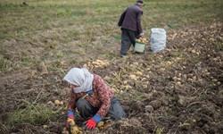 سیبزمینی روی دست کشاورزان نمیماند/پیشبینی انبار برای ذخیره محصول