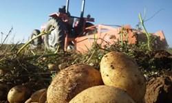سیبزمینی گلستان در برزخ صادرات/ طرح استمرار کشت سیبزمینی کلید خورد