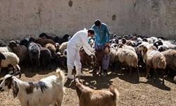 واکسیناسیون 458 هزار رأس دام علیه بیماری شاربن در زنجان