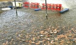 رهاسازی ۱۴۰ هزار ماهی تیلاپیا در استخرهای سمنان