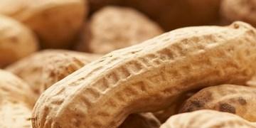 پارسآباد «رکورددار کشت بادامزمینی» در کشور/ لزوم سرمایهگذاری در صنایع تبدیلی بادامزمینی