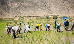 کشت برنج در لرستان افزایش یافته است/ قانونی برای جلوگیری از کشت بیرویه وجود ندارد