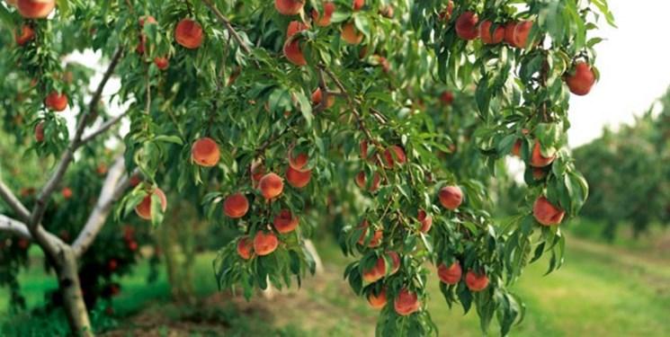 کاشت درختان میوه صدقه جاریه و پیشرفت اقتصادی است