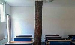 درخت کاجی که همکلاسی دانشآموزان شد