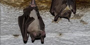 شایعه صادرات خفاش توسط هواپیمایی ماهان