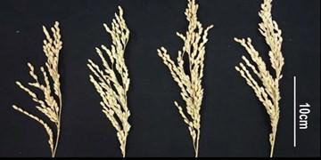افزایش بازدهی تولید برنج توسط چینیها