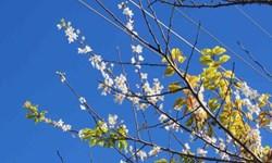 شکوفه باران بهار در زمستان کجور + فیلم
