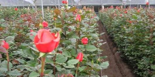 تولید 22.5  میلیون  شاخه رز  بریده در آذربایجانشرقی  / صادرات 11 هزار تن گوجهفرنگی از  استان به روسیه