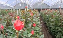 تولید 22.5  میلیون  شاخه گل رز  بریده در آذربایجانشرقی