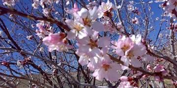 فیلم| شکوفه زدن درختان در میانه زمستان